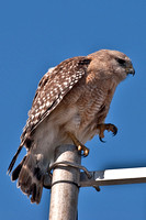 Red Shoulder Hawk 2
