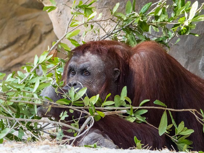 Orangutan - She is Kumang, the mother of Bella