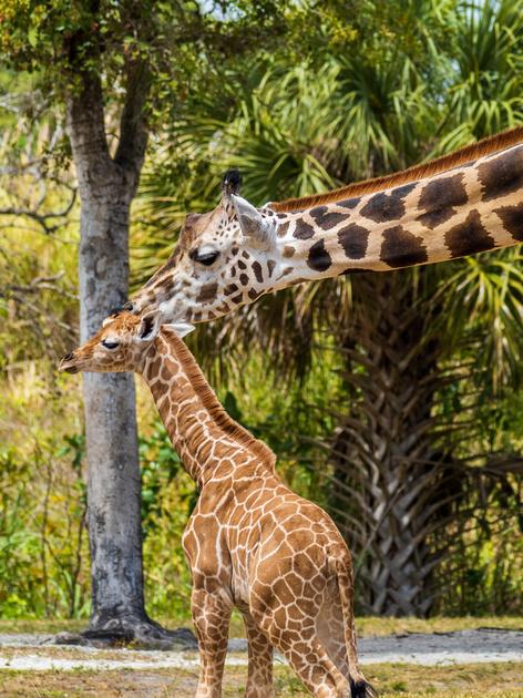 Male baby giraffe