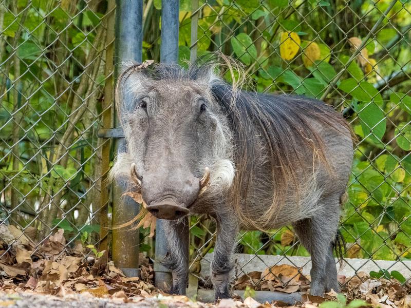 Hakuna Matata - Warthog