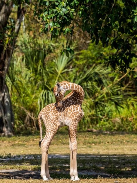 Female baby giraffe born April 5th