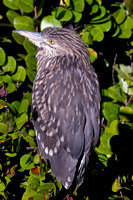 Yellow Crowned Night Heron 1