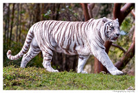 White Female Bengal Tiger