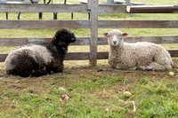 Baa, Baa Black and White Sheep