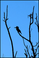 Kingfisher Silhouette