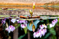 Lily Buds with Orchid Reflection