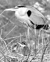 Great Blue Heron and Chicks B&W