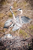 Great Blue Heron Couple Nesting