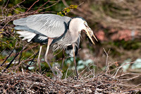Adult GBH Eats Fish 5