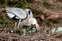 Adult GBH Eats Fish 2