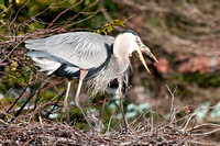 Adult GBH Eats Fish 6