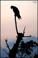 Osprey Silhouette - The Prayer