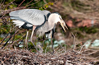 Adult GBH Eats Fish 4
